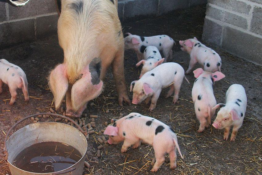pigs03